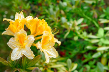 Rhodies usually bush out in late spring with some lush foliage after flowering, but can be encouraged to flower again in autumn. Photo / Thinkstock