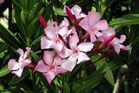 Oleander - toxin can cause serious cardiac issues. Photo / Supplied