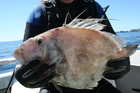 PT is a master at spearing John dory. Photo / Geoff Thomas