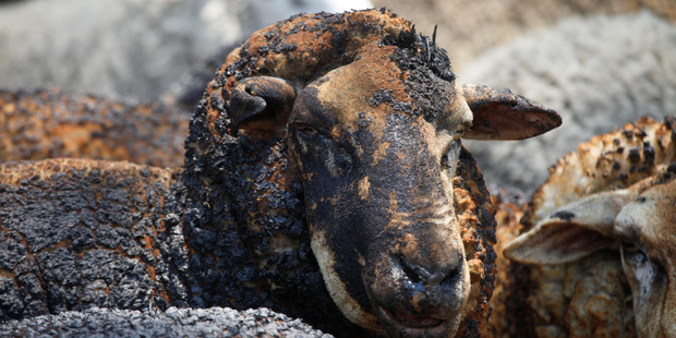 In New South Wales alone, more than 10,000 head of stock, mostly sheep, have been killed and the losses over all states affected are yet to be tallied. Photo / AAP