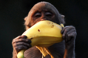 "The BBC reported, ""Edible bananas may disappear within a decade"". Photo / AP"