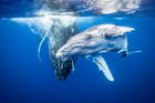 Richie Robinson's photo essay of humpback whales off the coast of Tonga took out the category. Photo / Richie Robinson