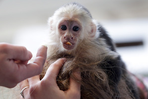 Capuchin monkey Mally sits on the head of an employee in an animal shelter in Munich, Germany. Photo / AP