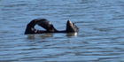 Andy Gurney was able to snap several frames of the seal before it &quot;disappeared across the bay&quot;. Photo / Andy Gurney