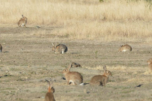 An example of the exploding rabbit population. Photo / Otago Daily Times