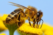 Bees have a perfect sense of smell that can quickly detect the scent of the explosives. Photo / Thinkstock