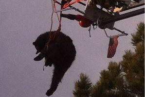The bear was rescued from a tree after being tranquilised. Photo / AP