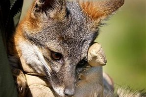 More than a thousand tiny island foxes live free on the largest of the Channel Islands off the Southern California coastline. Photo / AP