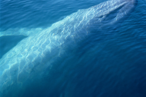 Blue whale protection may need to increase