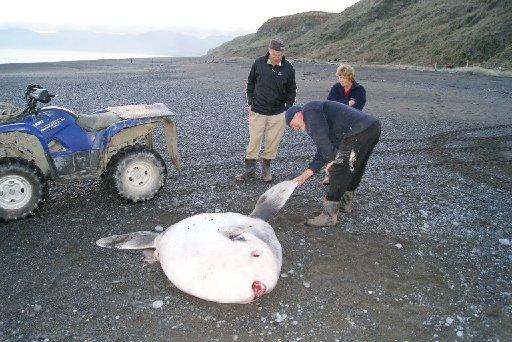 HEAVYWEIGHT SPECIMEN: Don MacIlraith, Janie Malton and Tan Malton have a look at the sunfish washed ashore on Whangaimoana Beach.