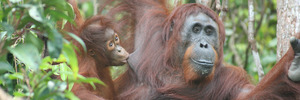 Borneo and Sumatra are the only places where orang-utans, an endangered species, live in the wild. Photo / Bloomberg