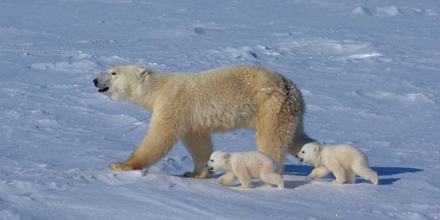 Global warming is shrinking the environments of polar bears and threatening low-lying island nations. Photo / Supplied
