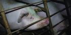 Sow stalls are to be banned but the cruelty of farrowing crates will continue. Photo / NZ Open Rescue