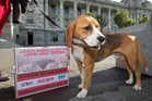 Benji the beagle at the Greens' delivery of their anti-testing petition at Parliament. Photo / Mark Mitchell