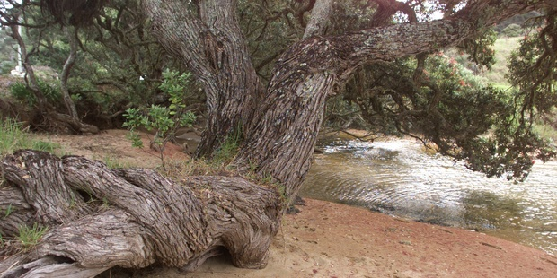 A pohutukawa tree reaches for the water line. Photo / NZH