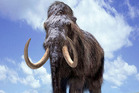 Although humans hunted mammoths, other chronic pressures are thought to have led to the animals' extinction. Photo / Supplied