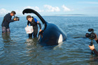 Cameraman Steve Hathaway, left, and Orca Research Trust volunteers Rosina Lisker and Robert Lehmann with the stranded orca. Photo / Ingrid Visser, Orca Research Trust