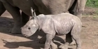 Watch: White rhino birth 'sign of hope' 