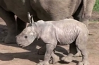 """An Australian zoo says the birth of a southern white rhinoceros is a """"sign of hope"""" for the species given the escalation of poaching in Africa."""