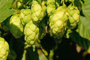 Autumn signals a slowdown in growth in your garden, but is still rich with fresh produce like these hops. Photo / Supplied