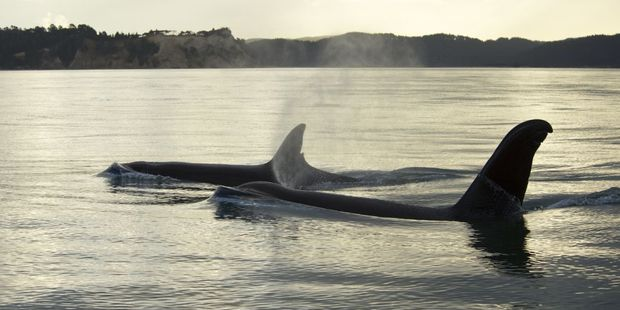 The freed orca, Koru, swims away into the sunset, accompanied by a female known as Nicky.  Photo / Ingrid Visser, Orca Research Trust