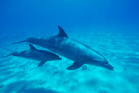Adam and Heather Barrington want thei birth of their baby to be 'dolphin-assisted'. Photo / Thinkstock