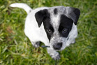 Ozzy, an 8 to 10-week-old female blue heeler-cross, was one of six shivering pups rescued. Photo / Christine Cornege