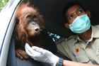 Orangutan populations in Indonesia's Borneo and Sumatra islands are facing severe threats from habitat loss, illegal logging, fires and poaching. Photo / AP
