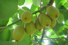 Zespri's Chinese subsidiary company was in March found guilty by a Chinese court of smuggling. Photo / Bay of Plenty Times