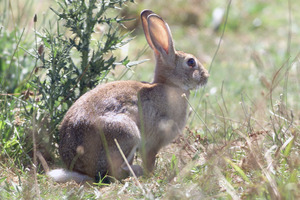 The council is planning several rabbit poisoning operations in the Wanaka area this winter. Photo / File / Martin Sykes