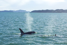 An orca and calf cruising the Bay of Islands yesterday.  Photo / Lawrence Hamilton, Fullers Great Sights