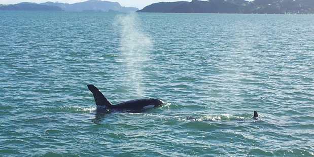 An orca and calf cruising the Bay of Islands yesterday. Photo / Lawrence Hamilton