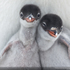 Two newly hatched Gentoo Penguin chicks get their first glimpse at the Antarctic wilderness. Location: Port Lockroy, Antarctic Peninsula. Photo / Richard Sidey