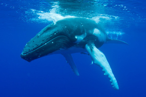 Shipping lanes are being changed to avoid killing whales. Photo / Thinkstock