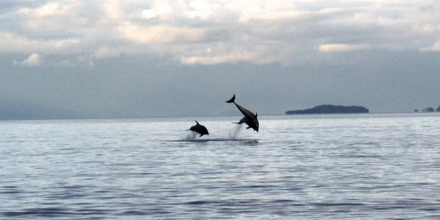 Swimmers were able to get close to a pod of about a dozen dolphins off Rothesay Bay yesterday.  Photo / Elloise Strang