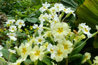 Primroses are pretty winter flowers. The English wild primrose is an open woodland plant. Photo / Meg Liptrot