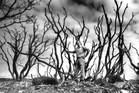 1990 picture of Jim Henry standing among Pohutukawa trees on Rangitoto Island. Photo / David White, NZ Herald. Picture Research / Emma Land