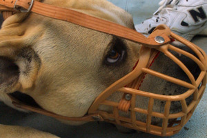 Dangerous dogs will have to be muzzled under proposed new bylaws. Photo / File