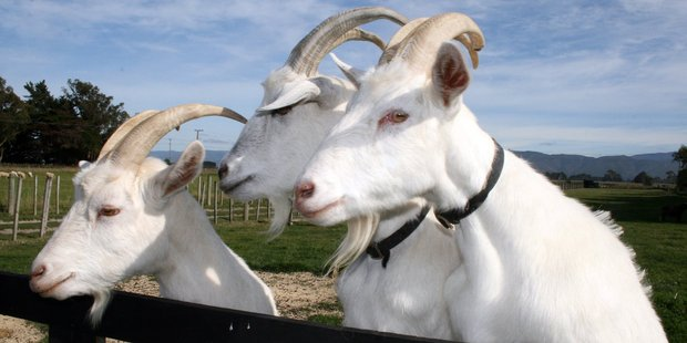Goats hiding in bushes spark police callout. Photo / File