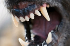 Two dogs attacked a woman at a family function earlier this week, leaving her with serious facial injuries. Photo / File