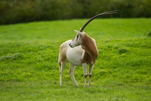 A Scimitar-Horned Oryx. Photo / Thinkstock