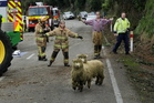 Volunteer firefighters act as farmhands to round up  sheep. Photo / Warren Buckland