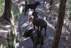 These dogs were found wandering in Opua Forest, Paihia. Photo / Peter de Graaf