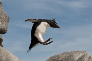 A rockhopper penguin midair on the Falkland Islands.