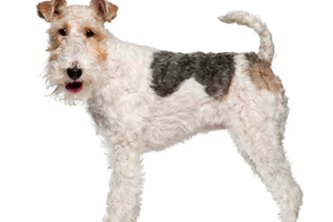 Fox terrier. Photo / Getty Images