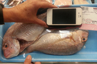 Small fresh snapper on sale in the US. Photo / Christine Orum