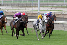 No Excuse Maggie (grey) has been fortunate to draw in the outside half of the field in the Tauranga Classic today.