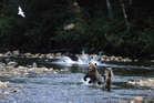 Young bears in the Nekite River. Photo / Tom Rivest