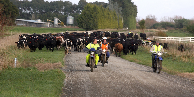 Dairy sector debt tripled over the past decade to $30.5 billion last year. Photo / Wairarapa Times Age