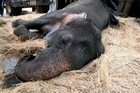An overworked and overweight Indian elephant called Bijlee is fighting for her life in Mumbai after collapsing in the street, sparking anguish among animal activists and Bollywood stars. She is fed and watered by volunteers as she rests on a bed of straw in a temporary shelter.